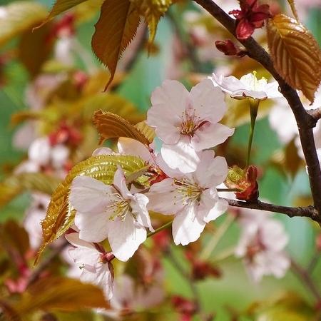 北海道もようやく桜の季節