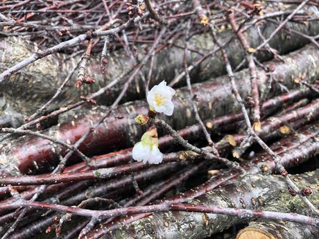 シンボルツリーにサクラの木