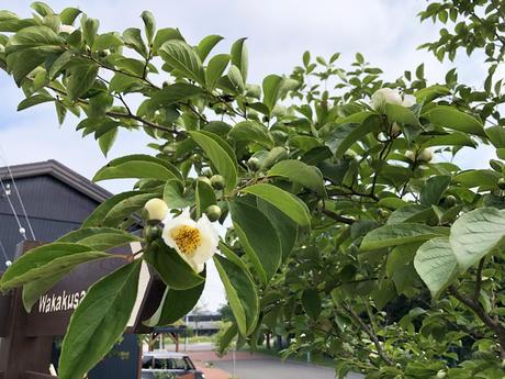 シンボルツリーにシャラの木 ( 夏ツバキ )